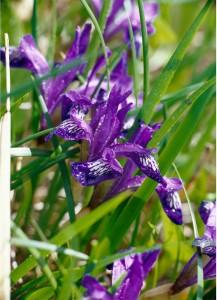 wild irisi
